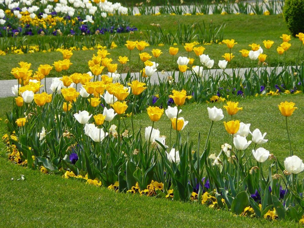 С чем сочетаются тюльпаны на клумбе