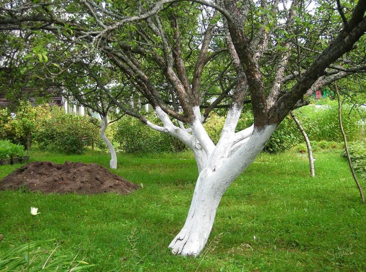 Когда белить деревья в саду весной?